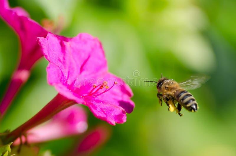 Honeybee. A honeybee pollinated of flower stock photos