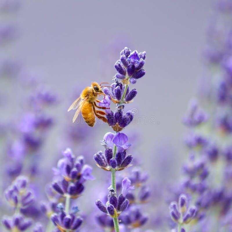 honeybee stockfotos