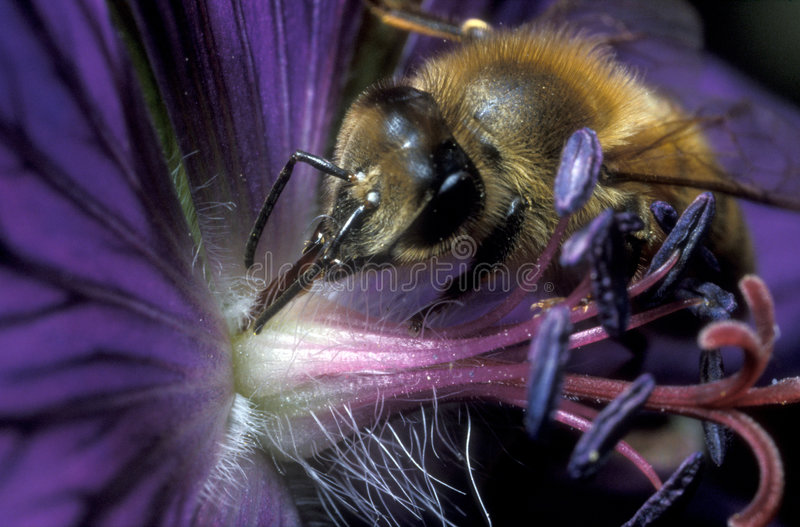 Honeybee. Busy honeybee licking nectar from a blue flower stock images