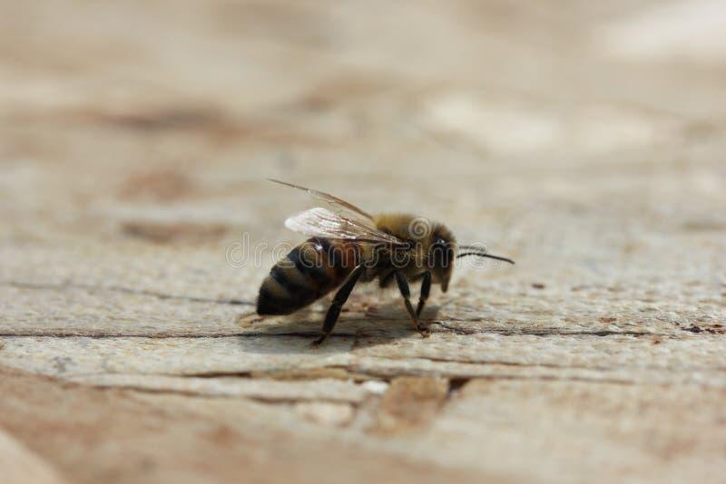 honeybee стоковое изображение rf