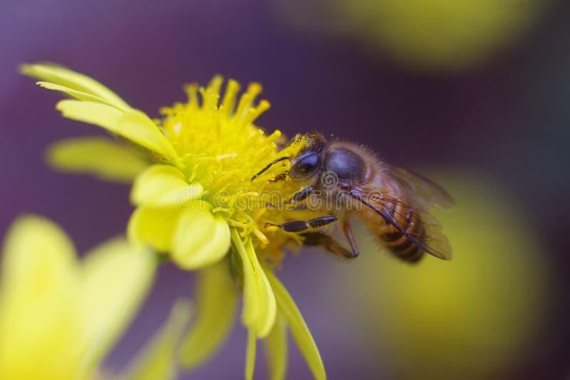 honeybee fotografia de stock
