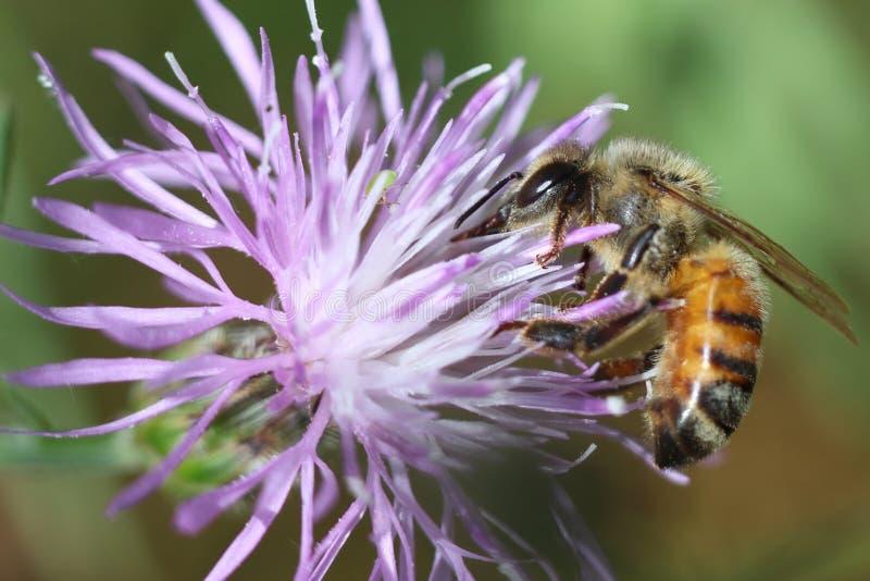 honeybee lizenzfreie stockbilder