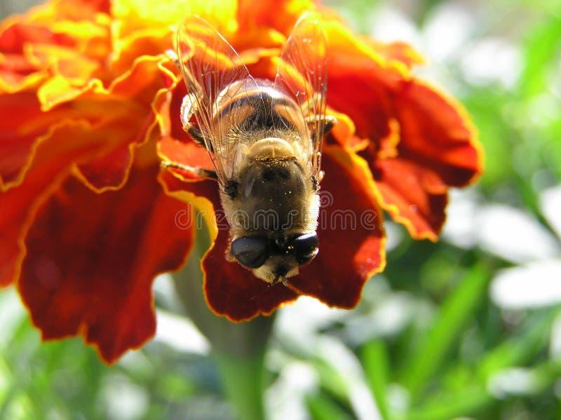honeybee стоковые фотографии rf