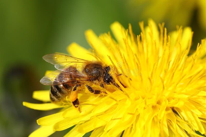 honeybee foto de stock royalty free
