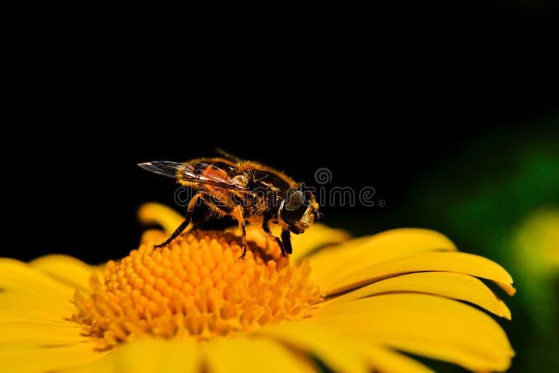 honeybee imagem de stock