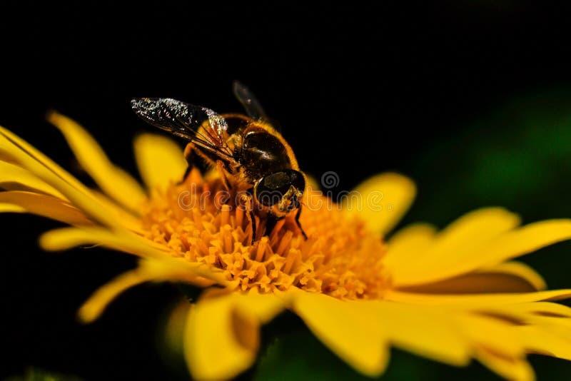 honeybee imagens de stock royalty free