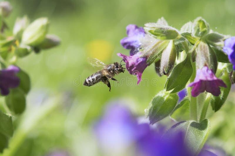 honeybee fotos de stock royalty free