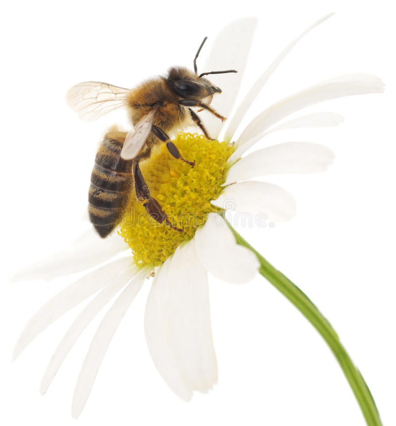 Free Honeybee And White Flower Royalty Free Stock Image - 54600756