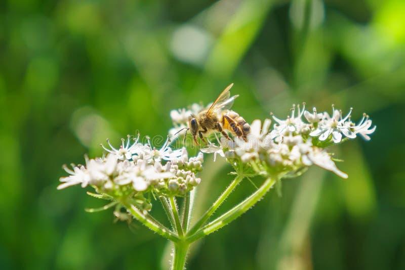 Honeybee (Apis mellifera) in the UK stock photo