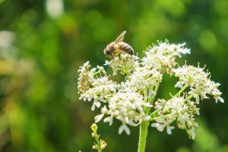 Honeybee (Apis mellifera) in the UK stock images