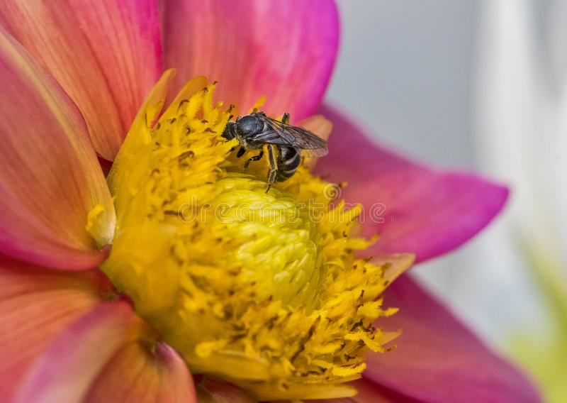 Honey Bee on the flower. Honeybee collecting nector from flower stock photos