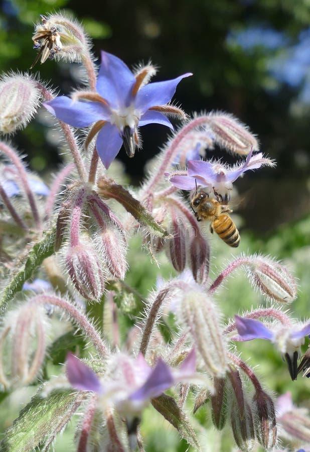 Honeybee collecting pollen on borage flowers royalty free stock photos