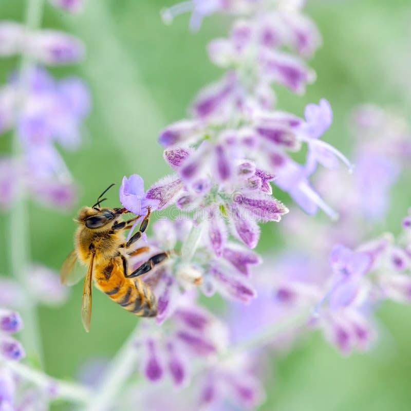 Honeybee On Lavender royalty free stock image