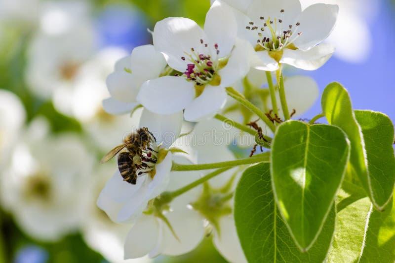 honeybee stock foto's