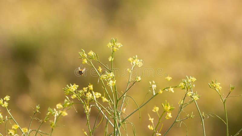 A honeybee flies around gathering nectar and pollen from a native wildflower called the western wallflower.  stock photos