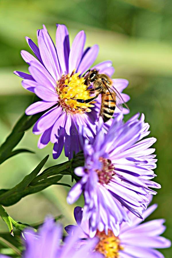 Honeybee on a flower stock image
