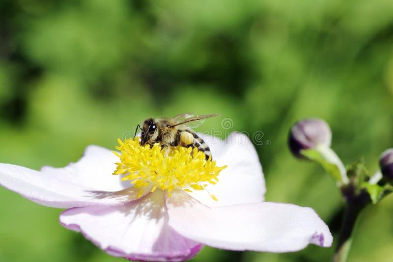 Honeybee on a flower royalty free stock photos