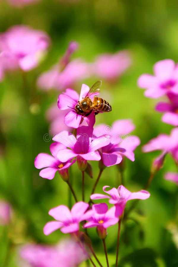 Download Honeybee and flowers stock image. Image of gather, petal - 19989861