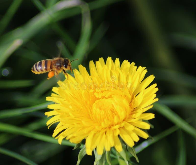 Honeybee flying on Dandelion. Honeybee collecting nector from Dandelion Taraxacum officinale in springtime stock image