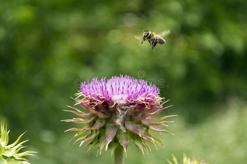 Honeybee flying over a Texas Purple Thistle flower royalty free stock images