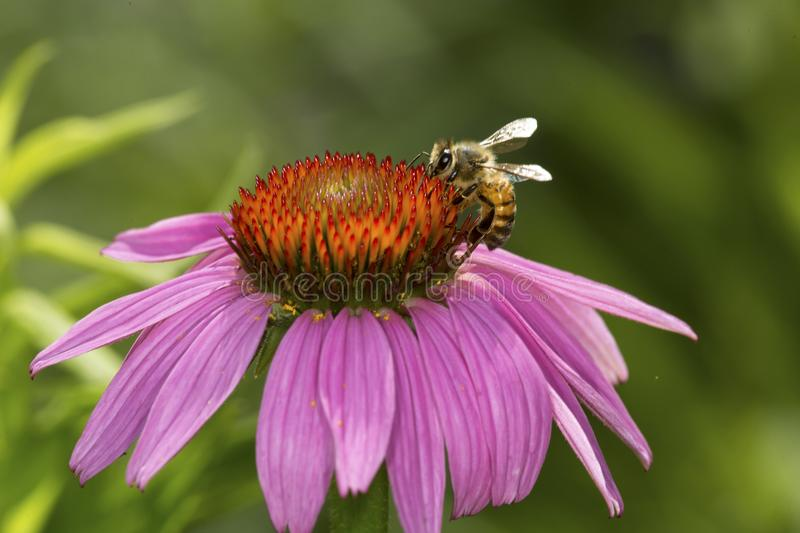 Honeybee foraging for nectar on a purple cone flower, Connecticut. Honeybee, Apis mellifera, on the disk of a purple cone flower, Echinacea purpurea, at the stock photos