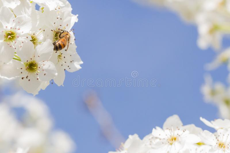 Springtime Bee Harvesting Pollen From Blossoming Tree Buds. stock photos