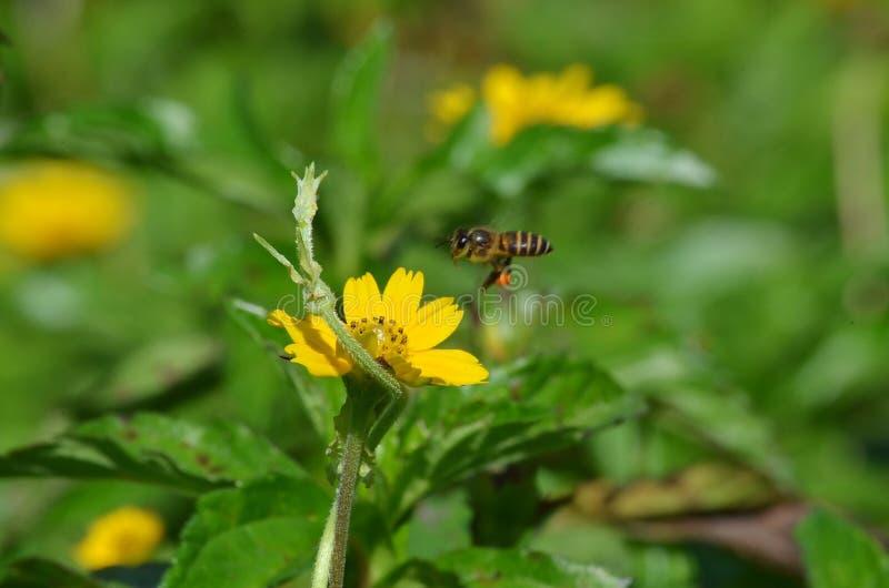 Honeybee lądowanie na kolorze żółtym jak wildflower w Krabi, Tajlandia fotografia royalty free