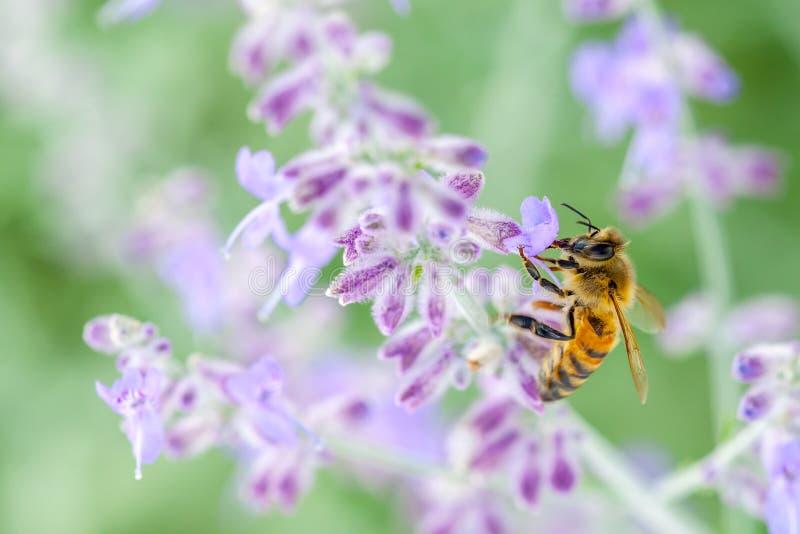Honeybee On Lavender royalty free stock images