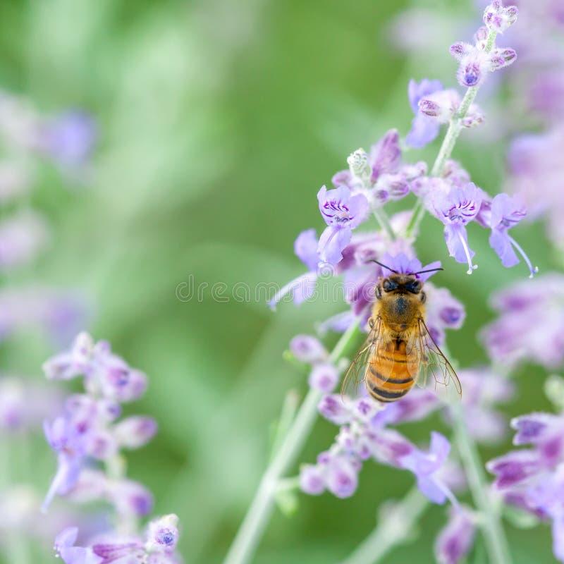 Honeybee On Lavender royalty free stock photos