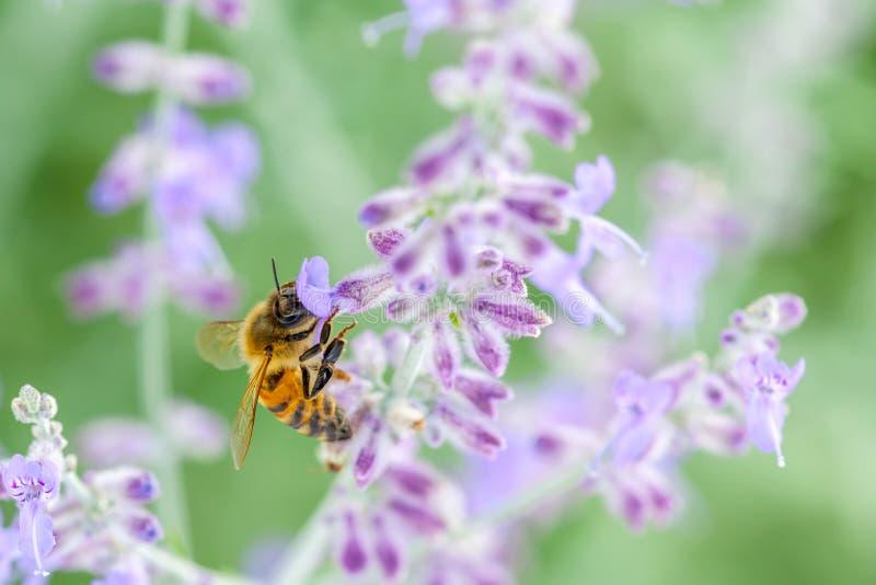 Honeybee On Lavender stock photography