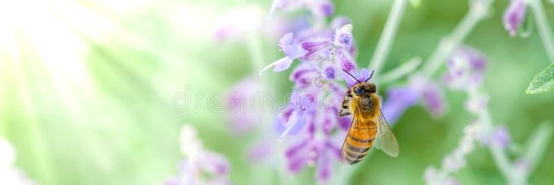 Honeybee On Lavender stock photo
