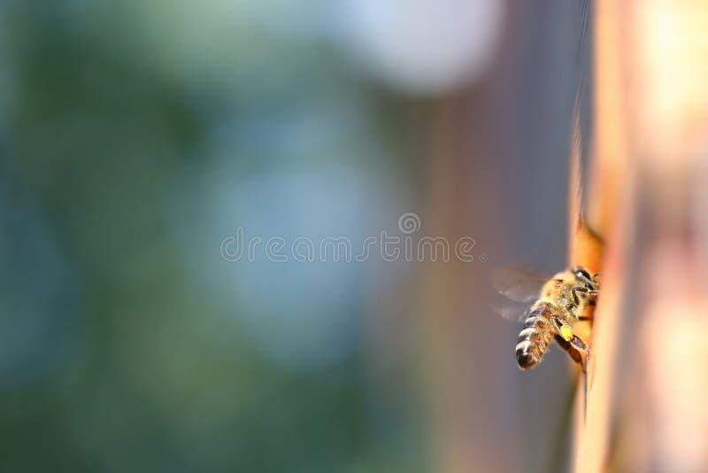 Honeybee med pollen royaltyfri fotografi