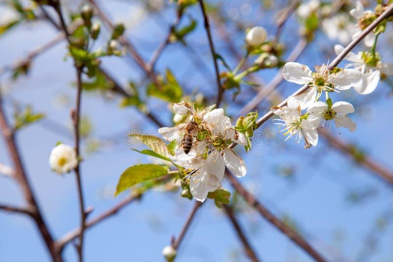 Honeybee na białym kwiacie czereśniowego drzewa zbieracki pollen i nektar robić słodkiemu miodowi z leczniczymi korzyściami obrazy royalty free