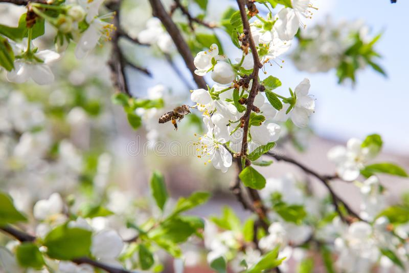 Honeybee na białym kwiacie jabłoni zbieracki pollen robić słodkiemu miodowi z leczniczymi korzyściami nektar i zdjęcia stock