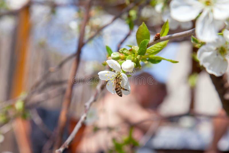Honeybee na bia?ym kwiacie czere?niowego drzewa zbieracki pollen i nektar robi? s?odkiemu miodowi z leczniczymi korzy?ciami obrazy royalty free