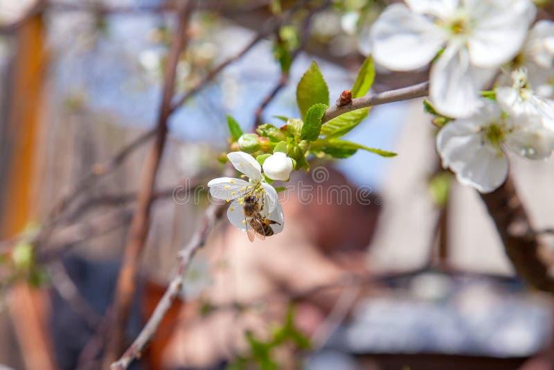 Honeybee na bia?ym kwiacie czere?niowego drzewa zbieracki pollen i nektar robi? s?odkiemu miodowi z leczniczymi korzy?ciami fotografia stock