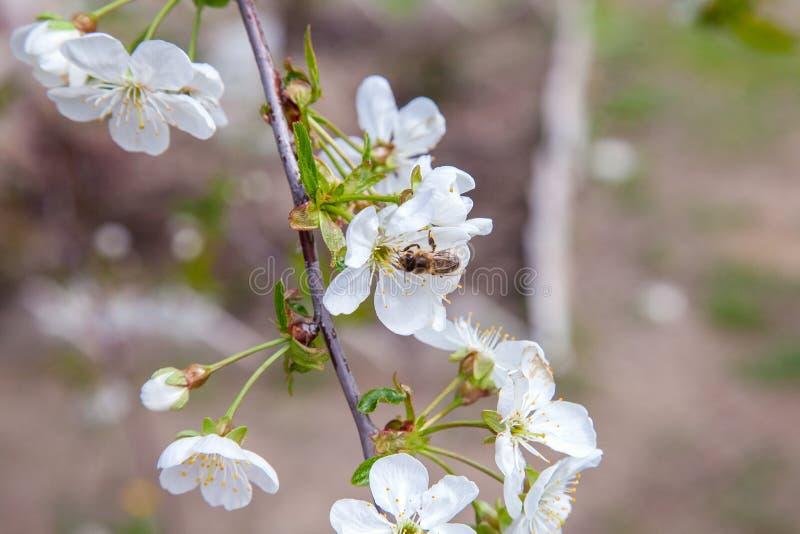 Honeybee na bia?ym kwiacie czere?niowego drzewa zbieracki pollen i nektar robi? s?odkiemu miodowi z leczniczymi korzy?ciami zdjęcie stock