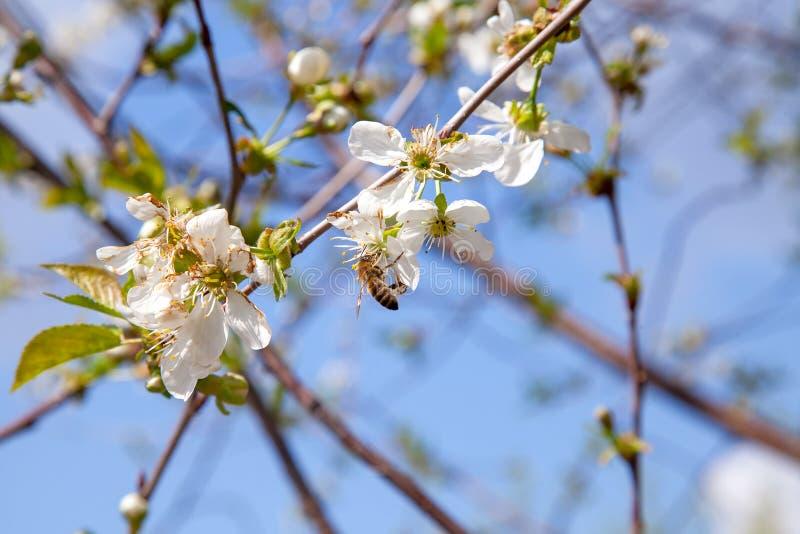 Honeybee na bia?ym kwiacie czere?niowego drzewa zbieracki pollen i nektar robi? s?odkiemu miodowi z leczniczymi korzy?ciami obraz stock