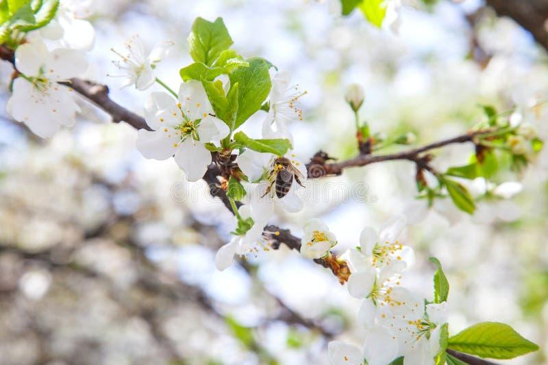 Honeybee na bia?ym kwiacie jab?oni zbieracki pollen robi? s?odkiemu miodowi z leczniczymi korzy?ciami nektar i fotografia royalty free