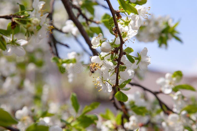 Honeybee na bia?ym kwiacie jab?oni zbieracki pollen robi? s?odkiemu miodowi z leczniczymi korzy?ciami nektar i obrazy royalty free