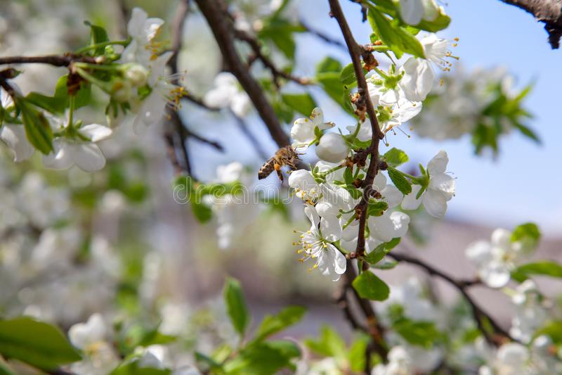 Honeybee na bia?ym kwiacie jab?oni zbieracki pollen robi? s?odkiemu miodowi z leczniczymi korzy?ciami nektar i obraz stock