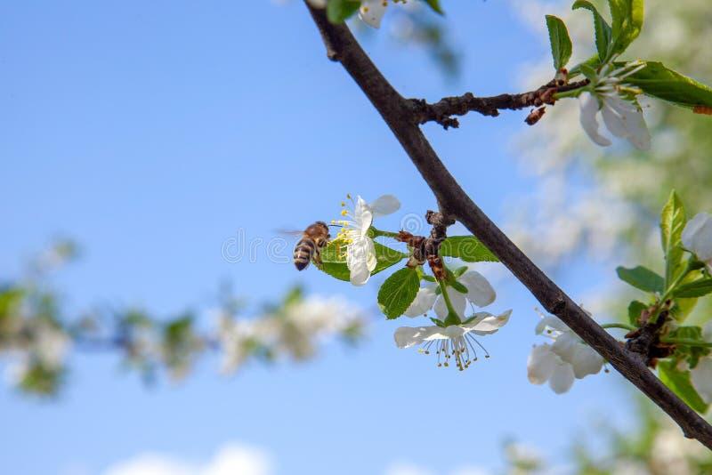 Honeybee na bia?ym kwiacie jab?oni zbieracki pollen robi? s?odkiemu miodowi z leczniczymi korzy?ciami nektar i zdjęcie stock