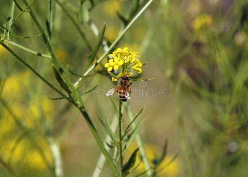 Honeybee na bittercress fotografia royalty free