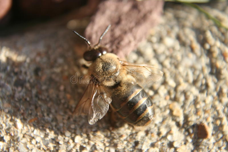 Honeybee na bruku obrazy stock