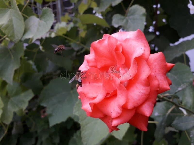 Honeybee na lekkiej czerwieni róży w poszukiwaniu nektaru obraz royalty free