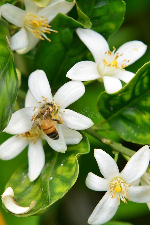 Honeybee på orange blomningar royaltyfri bild