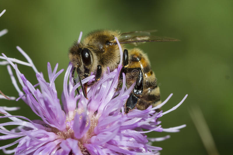 Download Honeybee on pink thistle stock photo. Image of gathering - 93828258