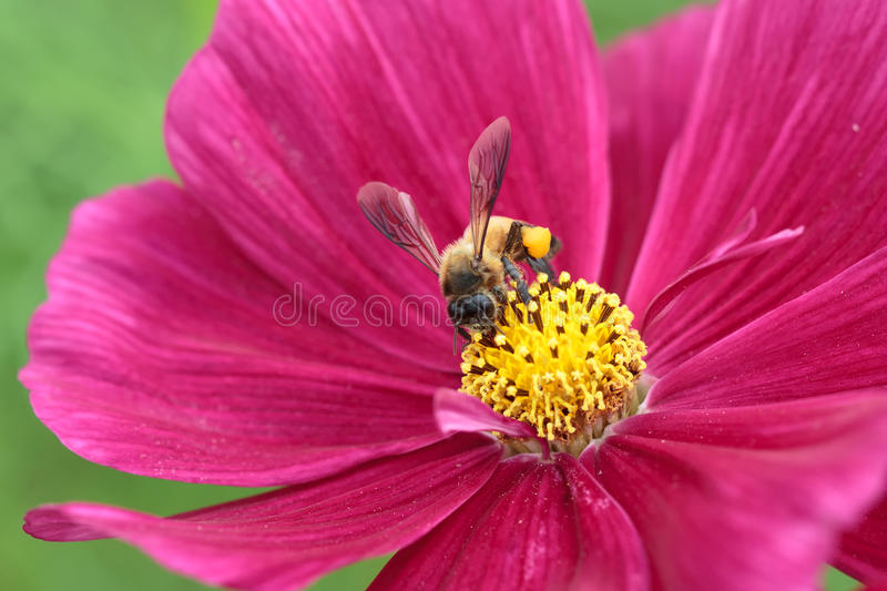 Honeybee pollinated of red flower. Bee in flower bee amazing honeybee pollinated of red flower royalty free stock photos
