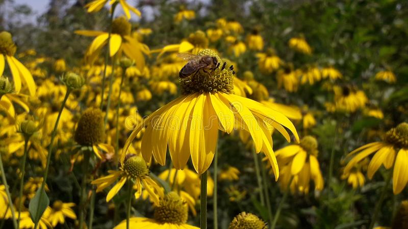 A Honeybee pollinates of yellow flower stock images
