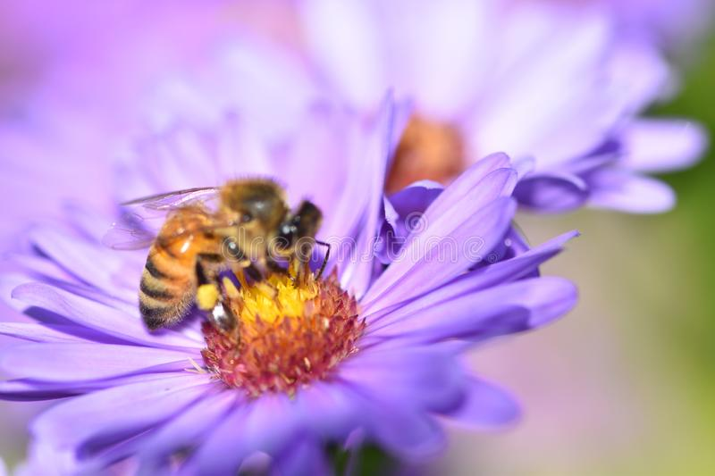 Honeybee is pollinating the purple flower in the summertime macro photo royalty free stock photo